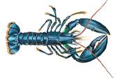(Blue) Lobster